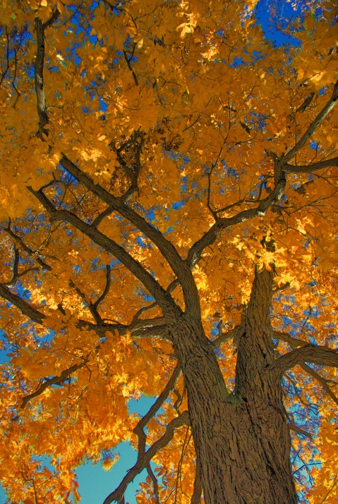 Leaves and Sky HDR (High Dynamic Range) 12 X 8""